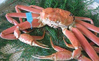 【期間限定】M005 加賀市・橋立港産 加能かに(ずわい蟹) 大1匹【140pt】
