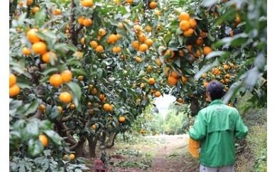 010-22【数量限定】宮村農園のこだわりみかん(青島S、M、L、2Lサイズ混合)約10kg