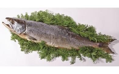 【季節数量限定】寒風干し新巻鮭(切身加工)