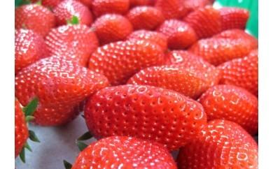 [3017402]松田農園のイチゴ「章姫」