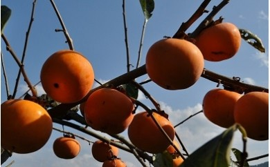 A08 富有柿