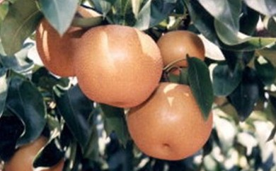 [№5756-0036]梨(豊水)5.0kg