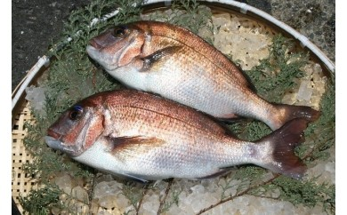 C019玄界灘産 養殖真鯛