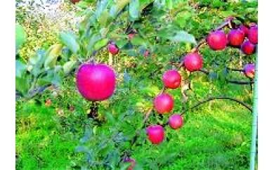 I-101-11-2 りんご シナノスイート家庭用 約10㎏