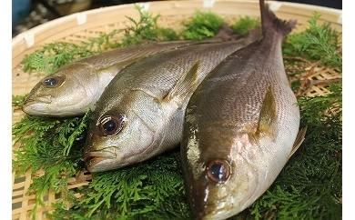 M16 高知県東洋町【今が旬!】得鮮魚とれたて活〆天然「イサギ」おまけ付き【限定】