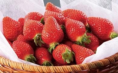 [彩-31]採れたてイチゴをたっぷりお届け みずみずしいイチゴセット