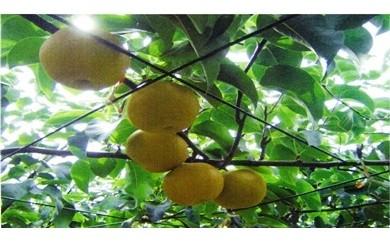 25-B 小美玉の梨(豊水)