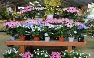 【A30】館山季節の花鉢