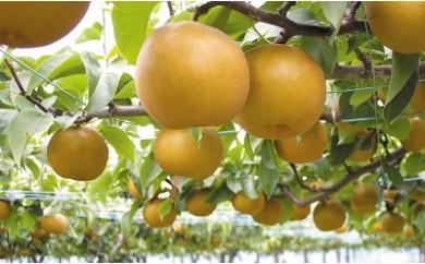 (368)果樹園から直送!境町産幸水5kg