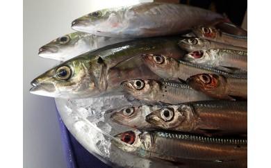 KY-① うみまかせ旬の鮮魚セット