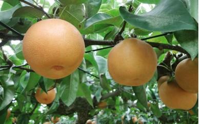 【01-131】小林農園の梨 新興※クレジット決済限定