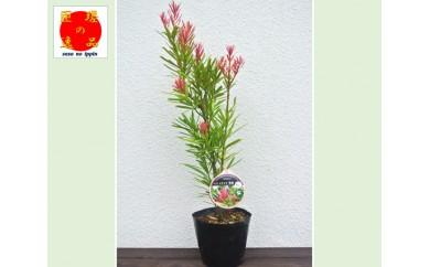No.042 匝瑳市特産イヌマキ 新品種「匝瑳」 ポットサイズ18cm×1本