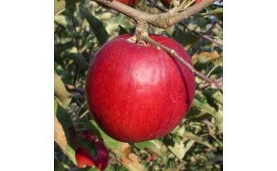[№5865-0040]りんご 紅玉(こうぎょく) 約2.7kg 等級 特選品