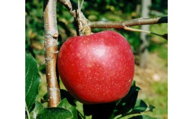 [№5676-0165]信州りんご(シナノスイート&シナノゴールド)約5kg