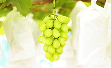 B232 古田大果園 シャインマスカットと旬のブドウセット【4~5房セット】