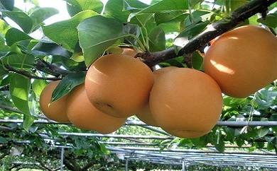 Ckn-01 【旬の限定品】おいしいジューシー旬の味!門脇農園の梨(あきづき)