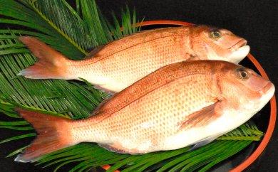 海の町 本場須崎のブランド鯛「乙女鯛」まるごと2匹セット
