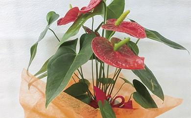 B-46 暮らしに花とみどりを届ける野市グリーンのアンスリューム3本~5本花鉢