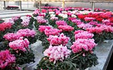 [№5756-0054]明和の冬の花「シクラメン」ピンク 5号鉢