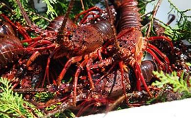 「赤い宝石」豊後水道の天然伊勢えび1㎏ うに醤油&ウニドレソース