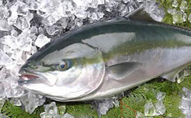【BH70】豊後水道の荒波で育てられた蒲江産養殖ブリ約4kg【18,000pt】