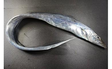 「愛海の恵み」大分豊後水道産 天然タチウオ(約2kg 2~4本)