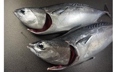 「愛海の恵み」大分豊後水道産 天然ヒラソウダガツオ(約2kg 2~3本)