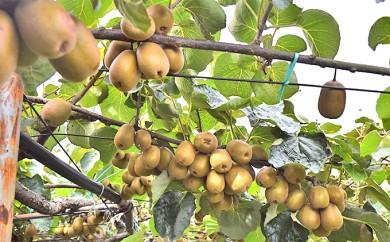 [№5885-0036]果樹園「久安」の赤くて甘いキウイフルーツ1箱