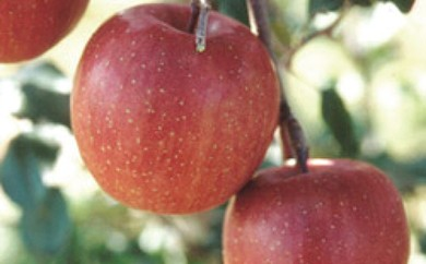 AE15 りんごの里・秋田県雄和地区で育ったりんご ふじ15kg【24000pt】