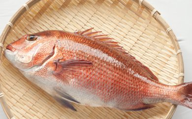 N002-2 本場須﨑のブランド鯛「乙女鯛セット」食べやすいフィーレ加工