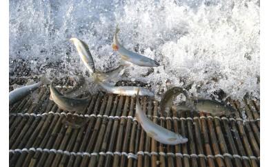 G4 最上川の天然鮎(あゆ)2kg