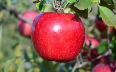 りんご【サンふじ 大玉・28玉】青森県三戸町産 H30.12.1発送開始