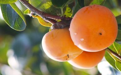 [№5649-0050]富有柿 7.5kg
