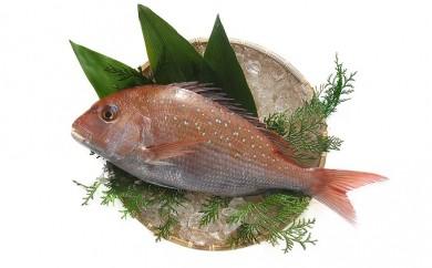 [№5803-0064]【朝獲れ直送便】瀬戸内海産の天然鯛を丸ごと1匹 中サイズ