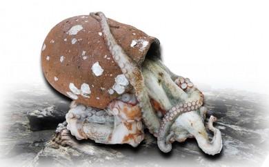 [№5803-0073]瀬戸内海産 水揚げされたばかりのジャンボ活タコ 1.5~2.0kg