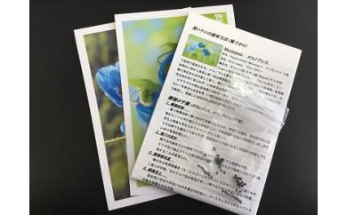 (A-5)青いケシの種(メコノプシス)1袋