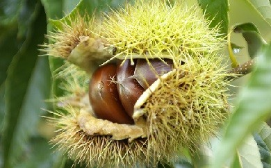 H-61 毎年好評の小布施ならではの秋の味覚 小布施栗 約1kg
