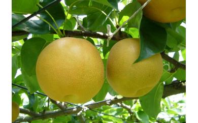 鎌ケ谷市観光農業組合の完熟鎌ケ谷の豊水梨3㎏