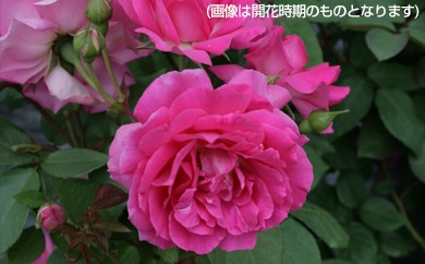 B0-141 つるバラ鉢植え「サーポールスミス」