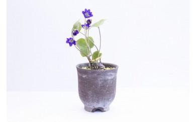 【期間限定】雪割草(紫花)