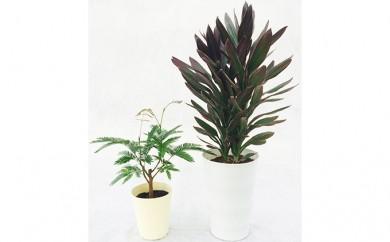 [№5672-0109]プロが選ぶ観葉植物 ~6号鉢・4号鉢セット