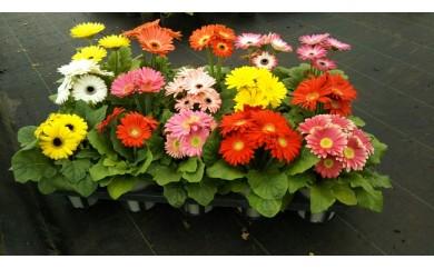 ミニガーベラ15鉢セット(山岸園芸)