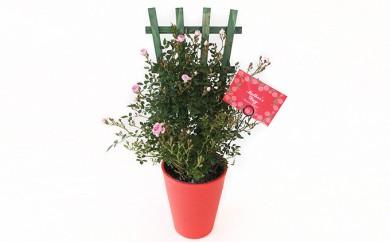 [№5809-1318]【クレカ限定】母の日に!つるバラ鉢植えトレリス仕立て 赤・ピンク