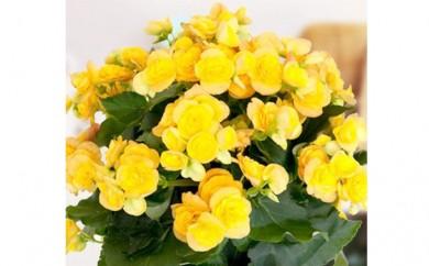 [№5809-1312]【クレカ限定】母の日に!リーガスベゴニア鉢植え 5号黄オレンジ系