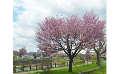 No.044 「千歳川桜プロジェクト」記念碑への記名