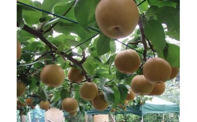 B10 梨の収穫体験B【彩玉の収穫体験(約4kg)】