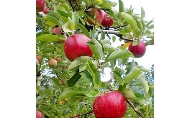 リンゴの箱詰め