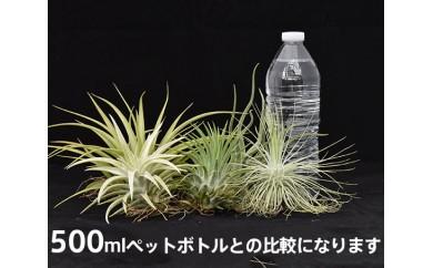 No.107 ティランジア(エアプランツ)大