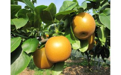◆【A17】あきづき[梨](5kg箱)※平成30年収穫分・早期予約