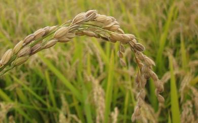 (北海道仁木町産)農家直送『玄米ななつぼし』秋の新米(30年産米)